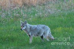 Eastern coyote.