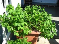 Mint Plant to Repel Mosquitoes