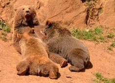 Parque de la naturaleza de Cabárceno #Cantabria #Spain Especie Animal, Brown Bears, Bear Cubs, Parks, Naturaleza, Animales, Cubs, Grizzly Bears, Baby Bears
