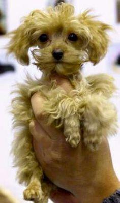 Saint Petersburgh 'ORCHID'  Puppy.