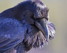 so black, they look blue as the light hits them. Hit me with sunlight crow raven. Raven Bird, Quoth The Raven, Pet Raven, Beautiful Birds, Animals Beautiful, Rabe Tattoo, Flora Und Fauna, Yennefer Of Vengerberg, Dark Wings