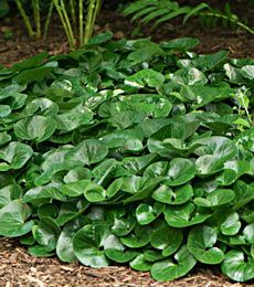 Superbe Asarum EuropaeumFall Shipped Groundcover For Shade, Evergreen Groundcover, Shade  Perennials, Garden Landscaping,