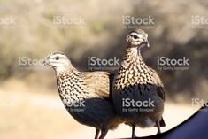 Tow Francolins that jumped on the car while we where parked to look. South African Birds, Image Now, Royalty, Stock Photos, Park, Animals, Royals, Animales, Animaux