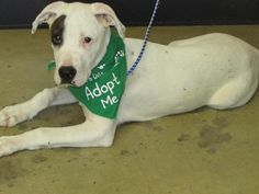 ADOPTED - Captain Jack - URGENT - Richland County Dog Warden in Mansfield, Ohio - ADOPT OR FOSTER - 4 MONTH OLD Male Pit Bull Terrier/Great Dane Mix PUPPY - at the shelter since May 19, 2017