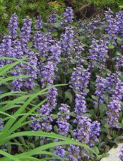 Rentoakankaali. Korkeus: 10 - 20 cm. Kukkii kesäkuussa. Kasvupaikka aurinko, kuiva, tuore, ei humuspitoinen, runsasravinteinen maa.