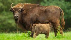 On réintroduit des bisons en Europe