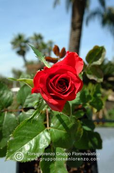 #rose #red #fower