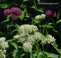 7 companion plants for milkweed that will help attract more monarch butterflies and beneficial pollinators to your butterfly garden.