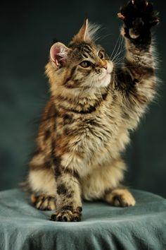 Котенок Мейн-Кун - AmbientCat Fisker, MCO f22. Возраст: 3 месяца 19 дней