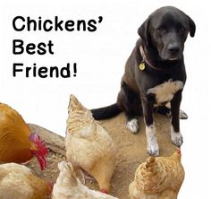 Chickens' Best Friend!how to train dog to protect the chickens.