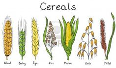 Illustration about Cereals hand-drawn illustration - wheat. Illustration of maize, corn, flour - 25047894 Rice Plant, Plant Illustration, Botanical Illustration, Tattoo Food, Wheat Tattoo, Types Of Cereal, Plant Tattoo, Plant Drawing, Tattoos