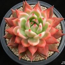 On The Net Landscape Design And Style - The New On-line Tool That Designers Are Flocking To For Landscape Designs Echeveria Agavoides Hyb. By Zusung Garden Cactus, Succulent Gardening, Cactus Flower, Cacti And Succulents, Planting Succulents, Garden Plants, House Plants, Planting Flowers, Propogate Succulents
