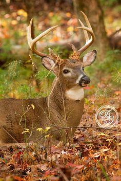 A Whitetail buck watches over his doe who sleeps nearby in Cades Cove, TN © Beth Grant Photography #wildlife #wildlifephotography