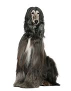 The Afghan Hound makes a bold appearance with it's entertaining and solitary features