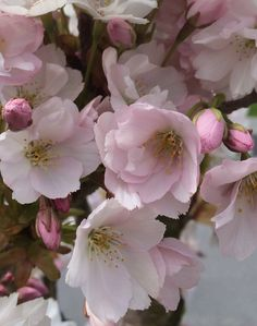 Cherryflowers by Kaia Huus - Photo 128450969 - Soft Colors, Rose, Flowers, Plants, Pictures, Beautiful, Peach Blossoms, Photos, Soothing Colors