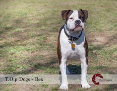 T.O.p Dog - Rex by PhoDOGraphy by Edith