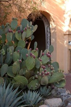 Beatiful Agave & Prickly Pear Cactus in Old Town, Albuquerque, New Mexico