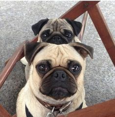 Always watching. Always! #pug