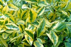 Ligustrum ovalifolium 'Aureum'- The golden privet adds a smaller leaf and another lighter, more open growth habit to the planting scheme.