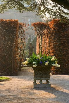 Holker hall, cumbria - dawn light on beech hedge and stone urn planted with hyacinths. Hall in background