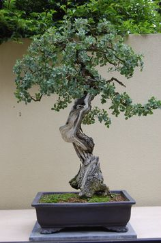 'Best In The Northwest' at The Pacific Rim Bonsai Collection
