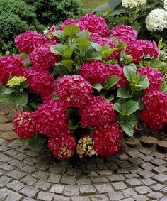 Depending on the soil type, the mophead flowers of the Red Sensation Hydrangea vary from hot pink to deep red. The mophead flowers of the Red Sensation Hydrangea range from a hot pink to a stunning deep red depending on soil type. Hydrangea Macrophylla, Hydrangea Shrub, Hortensia Hydrangea, Hydrangea Care, Hydrangea Not Blooming, Red Hydrangea, Garden Shrubs, Flowering Shrubs, Garden Beds
