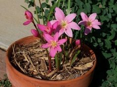 I know them as Storm Lilies. Growing Rain Lilies: How To Care For Rain Lily Plants Shade Garden, Garden Plants, Garden Bed, Flowering Plants, Lilly Garden, Lilly Plants, Rain Garden Design, Lily Care, Rain Lily