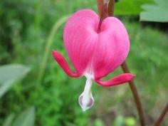 Дицентра. У богатых на легенды французов цветок получил имя «сердечко Жанетты», у практичных немцев – «цветок сердца», у изобретательных англичан – «дама в ванне», ну а русские люди окрестили его на излюбленный минорный лад «разбитым сердцем».