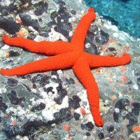 red sea star - The Most Beautiful Starfish In The World Sea Snail, Reaching For The Stars, Red Sea, Freshwater Fish, Jellyfish, Sea Creatures, Starfish, Fresh Water, Diving