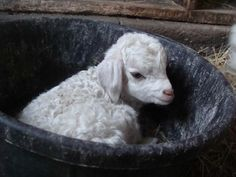 Baby angora goats are so impossibly cute Cute Baby Animals, Farm Animals, Animals And Pets, Baby Lamb, Sheep And Lamb, Baby Goats, Animal Kingdom, Animal Pictures, Farm Pictures