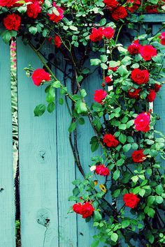 climbing red roses