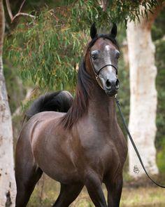 ATUNED MI :: Mulawa Arabian Stud | Sydney Australia