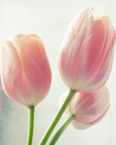 tulips <3
