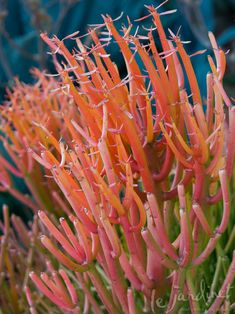 Euphorbia 'Fire Sticks' glows at sunrise, sunset and every hour in between