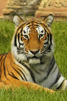 Bengal Tiger..,oh, how I wish