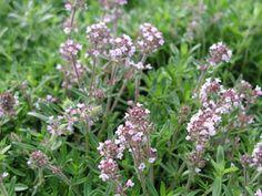 Thymus serpyllum - Sand-Thymian