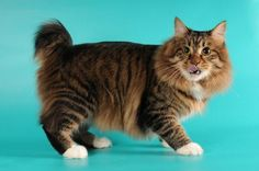 American Bobtail Cat Breed Information, Facts, Photos, Care | Pets4Homes