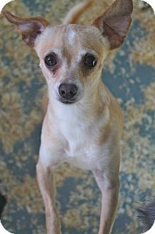 MIDDLE ISLAND, NY - Chihuahua Mix. Meet Rabbit, a dog for adoption. http://www.adoptapet.com/pet/11826306-middle-island-new-york-chihuahua-mix