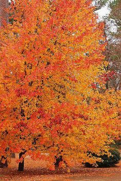 & Electric Pear & Mom and Dad& front yard. Monroe County The post Electric Pear autumn scenery appeared first on Trendy. Autumn Day, Autumn Leaves, Fall Trees, Golden Leaves, Autumn Forest, Autumn Scenes, Seasons Of The Year, Fall Pictures, Mother Nature