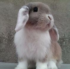 "Little lop bunny! ""OMG so cute!"" *snuggles current rabbit hoping she stops glaring*"