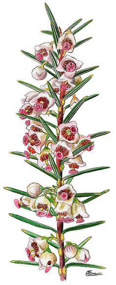 Erica scoparia (Brezo de escobas)