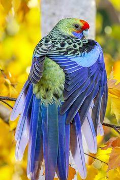 Top 10 birds in the world Rufous-bellied Niltava Islamabad, Pakistan.the most birds in the world are include in this best article.Top 10 birds in the world. Most Beautiful Birds, Pretty Birds, Love Birds, Animals Beautiful, Beautiful Creatures, Exotic Birds, Colorful Birds, Australian Parrots, Bird Wings