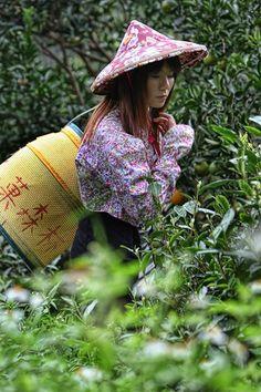 A true scene in mountainous area in Taiwan.   Tea-picking girl is in a vast expanse of fresh green.