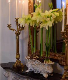 Braking news! I love these lime coloured Amaryllis #jul #clausdalby #christmas #flowers