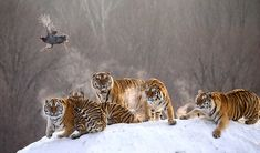 These incredible images were captured at a Siberian tiger reserve in northern China by Russian wildlife photographer Andrey Gudkov