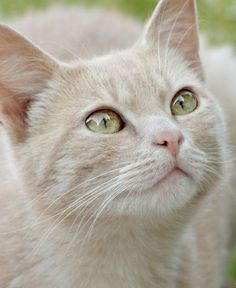 WHAT BEAUTIFUL EYES ~ GORGEOUS CAT