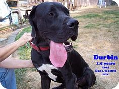 McMinnville, OR - Great Dane/Mastiff Mix. Meet Durbin, a dog for adoption. http://www.adoptapet.com/pet/13729464-mcminnville-oregon-great-dane-mix