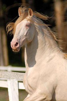 Magnifique cheval crème (sans doute porteur du gêne pearl également)
