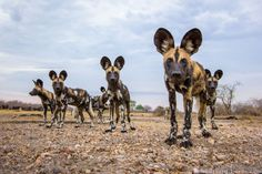 Remote-Controlled 'BeetleCam' Lets Photographer Capture Intimate Photos of African Wildlife African Hunting Dog, African Wild Dog, Hunting Dogs, Striped Hyena, Elephant Images, Intimate Photos, Wild Forest, British Wildlife, Wild Dogs