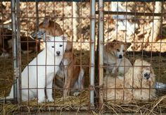 Much of the world views dogs as trusted companions, but in parts of Asia they suffer terribly as victims of the trade in dog meat for human consumption. In some countries, dogs, many of them stolen pets, are even tortured before being killed.